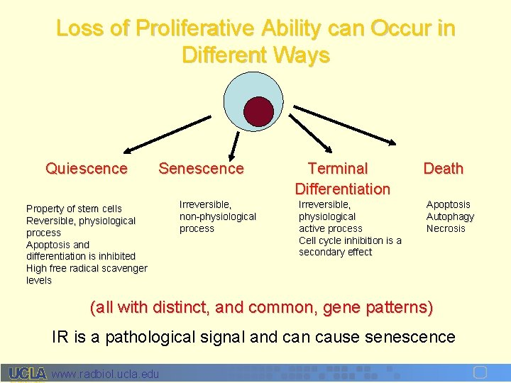 Loss of Proliferative Ability can Occur in Different Ways Quiescence Senescence Property of stem