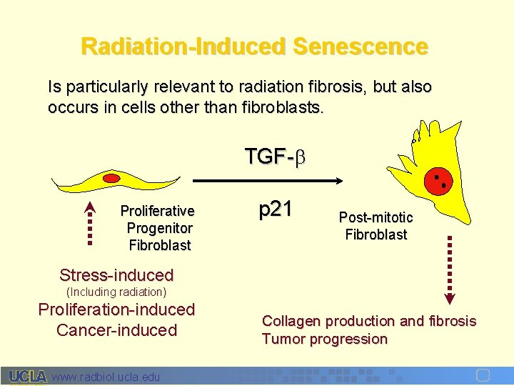 Radiation-Induced Senescence Is particularly relevant to radiation fibrosis, but also occurs in cells other