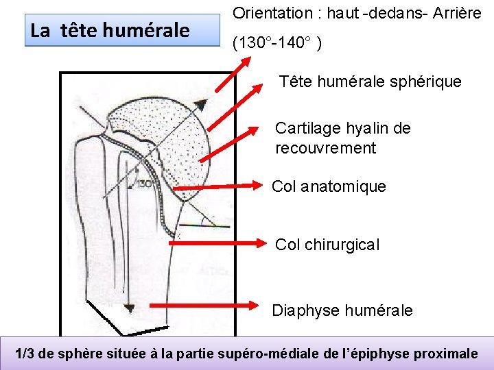 La tête humérale Orientation : haut -dedans- Arrière (130°-140° ) Tête humérale sphérique Cartilage