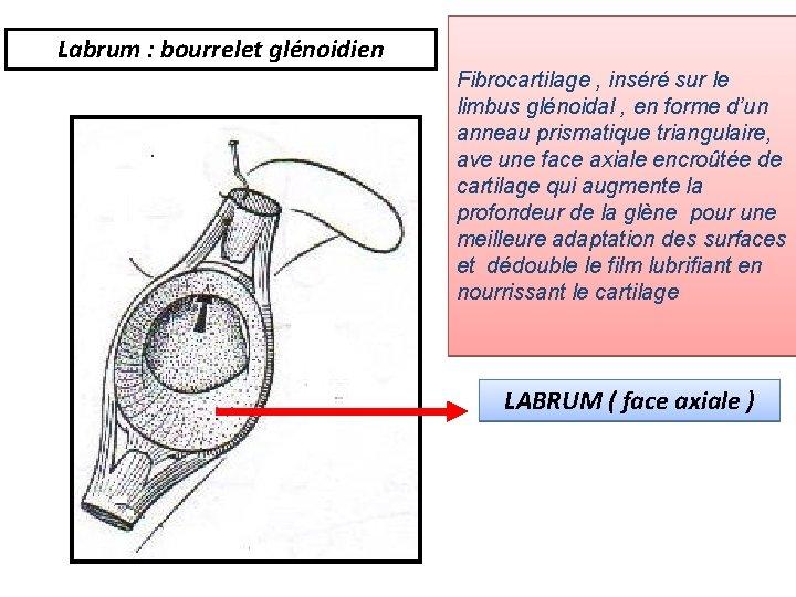 Labrum : bourrelet glénoidien Fibrocartilage , inséré sur le limbus glénoidal , en forme