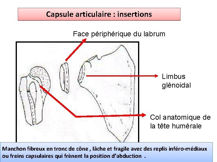 Capsule articulaire : insertions Face périphérique du labrum Limbus glénoidal Col anatomique de la