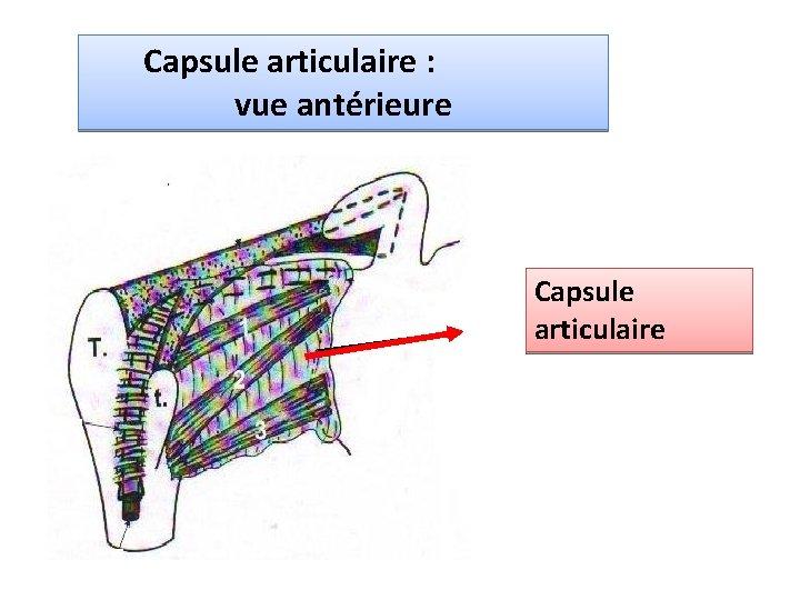 Capsule articulaire : vue antérieure Capsule articulaire