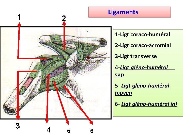 1 Ligaments 2 1 -Ligt coraco-huméral 2 -Ligt coraco-acromial 3 -Ligt transverse 4 -Ligt