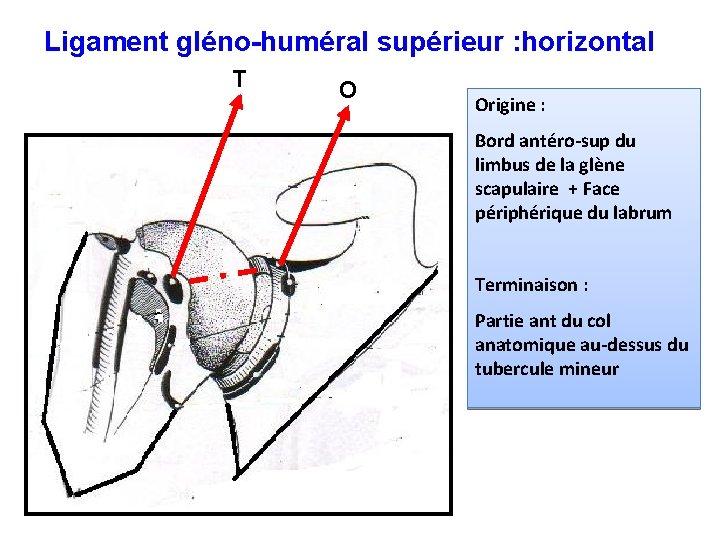 Ligament gléno-huméral supérieur : horizontal T O Origine : Bord antéro-sup du limbus de