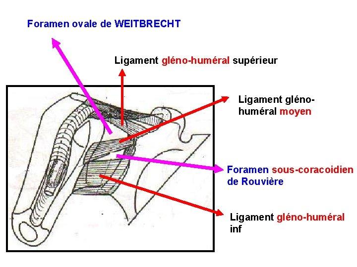 Foramen ovale de WEITBRECHT Ligament gléno-huméral supérieur Ligament glénohuméral moyen Foramen sous-coracoidien de Rouvière