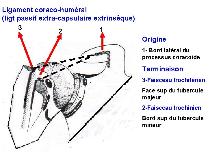 Ligament coraco-huméral (ligt passif extra-capsulaire extrinsèque) 3 1 2 Origine 1 - Bord latéral