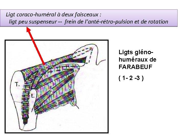 Ligt coraco-huméral à deux faisceaux : ligt peu suspenseur -- frein de l'anté-rétro-pulsion et