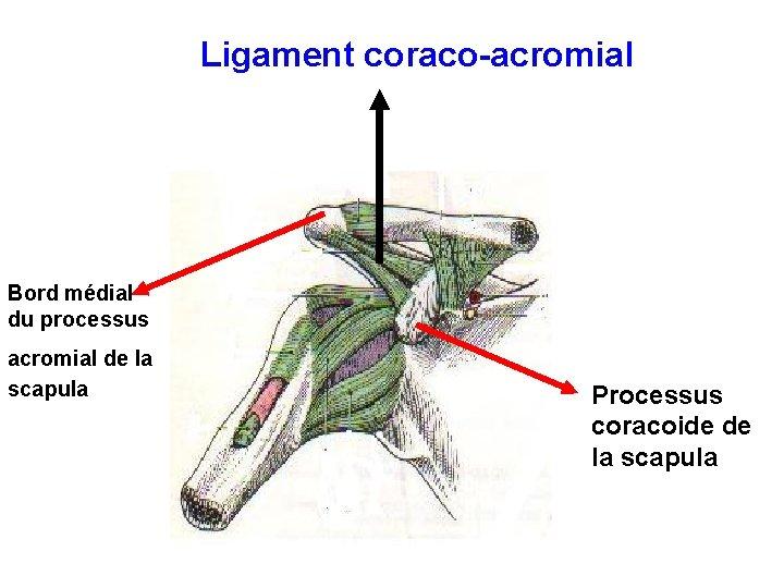 Ligament coraco-acromial Bord médial du processus acromial de la scapula Processus coracoide de la