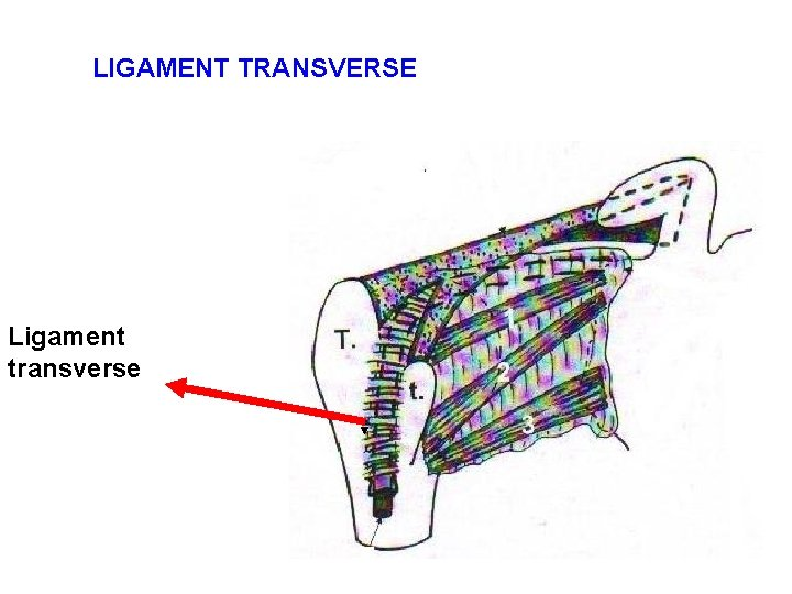 LIGAMENT TRANSVERSE Ligament transverse