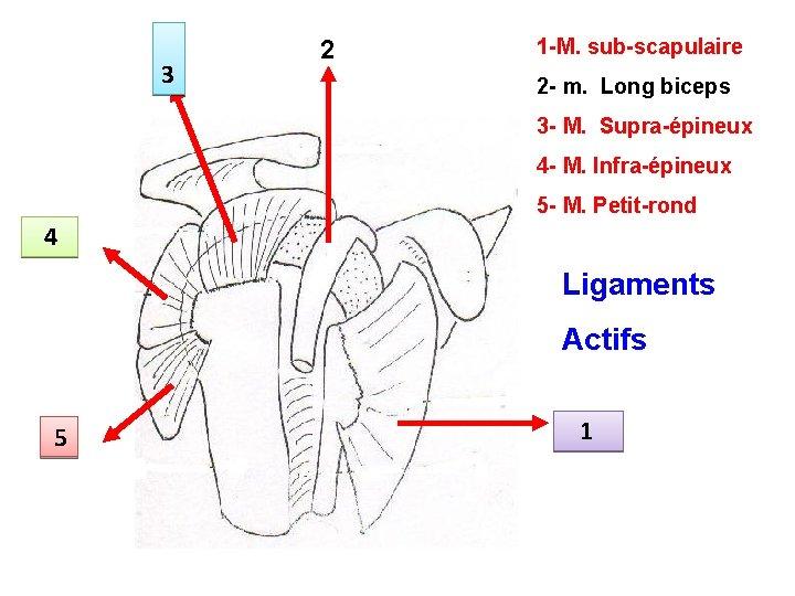 3 2 1 -M. sub-scapulaire 2 - m. Long biceps 3 - M. Supra-épineux