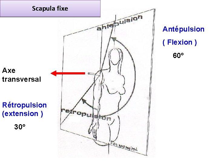 Scapula fixe Antépulsion ( Flexion ) 60° Axe transversal Rétropulsion (extension ) 30°