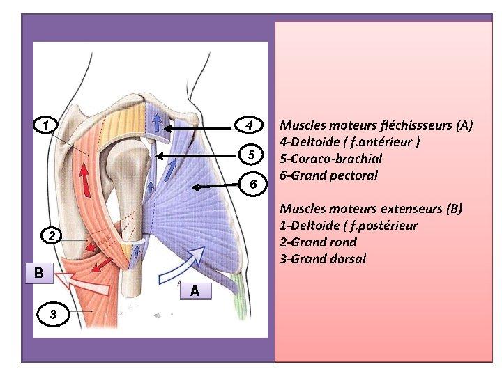 1 4 5 6 Muscles moteurs extenseurs (B) 1 -Deltoide ( f. postérieur 2