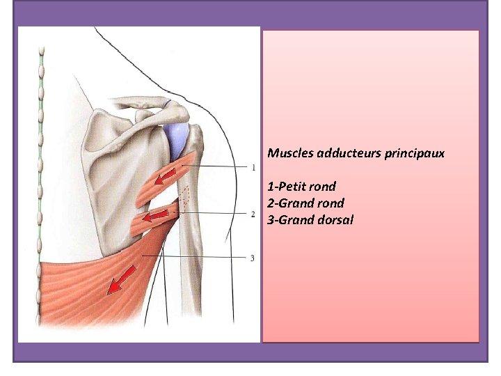 Muscles adducteurs principaux 1 -Petit rond 2 -Grand rond 3 -Grand dorsal