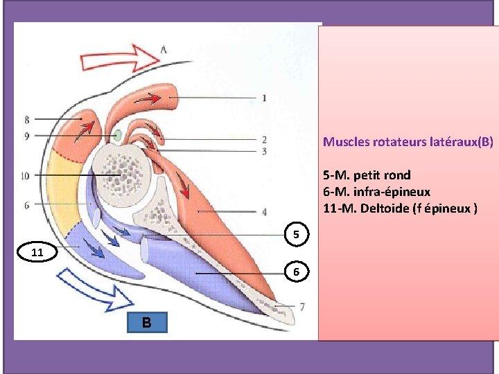 Muscles rotateurs latéraux(B) 5 -M. petit rond 6 -M. infra-épineux 11 -M. Deltoide (f