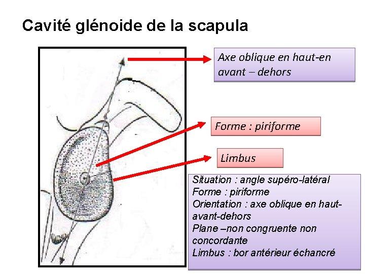 Cavité glénoide de la scapula Axe oblique en haut-en avant – dehors Forme :