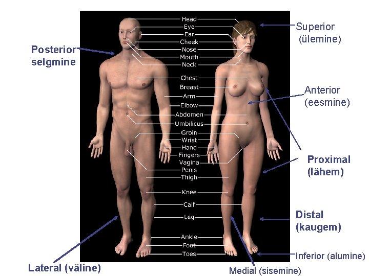 Posterior selgmine Superior (ülemine) Anterior (eesmine) Proximal (lähem) Distal (kaugem) Inferior (alumine) Lateral (väline)