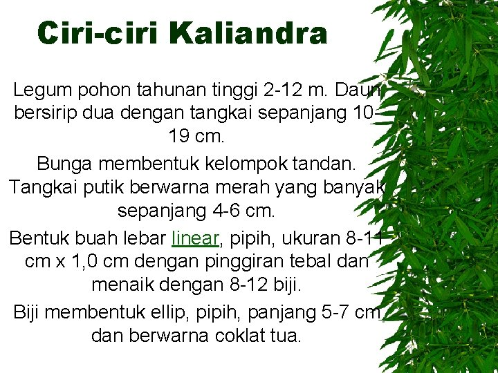 Ciri-ciri Kaliandra Legum pohon tahunan tinggi 2 -12 m. Daun bersirip dua dengan tangkai