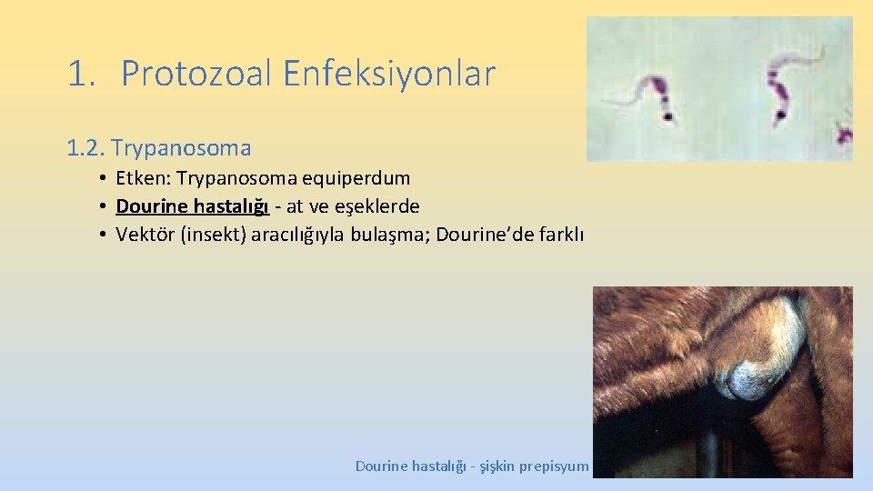 1. Protozoal Enfeksiyonlar 1. 2. Trypanosoma • Etken: Trypanosoma equiperdum • Dourine hastalığı -