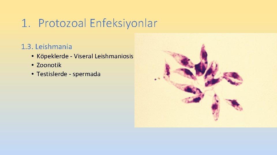 1. Protozoal Enfeksiyonlar 1. 3. Leishmania • Köpeklerde - Viseral Leishmaniosis • Zoonotik •