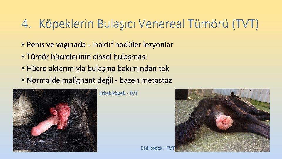4. Köpeklerin Bulaşıcı Venereal Tümörü (TVT) • Penis ve vaginada - inaktif nodüler lezyonlar