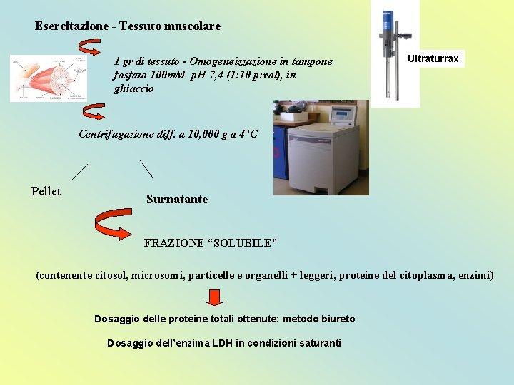 Esercitazione - Tessuto muscolare 1 gr di tessuto - Omogeneizzazione in tampone fosfato 100