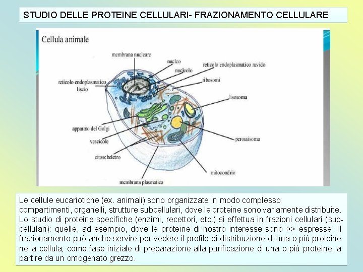 STUDIO DELLE PROTEINE CELLULARI- FRAZIONAMENTO CELLULARE Le cellule eucariotiche (ex. animali) sono organizzate in