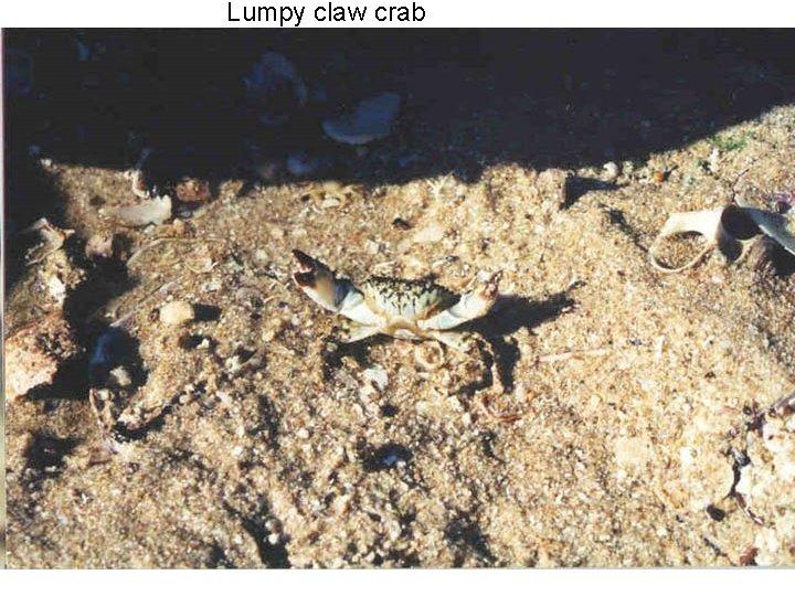Lumpy claw crab