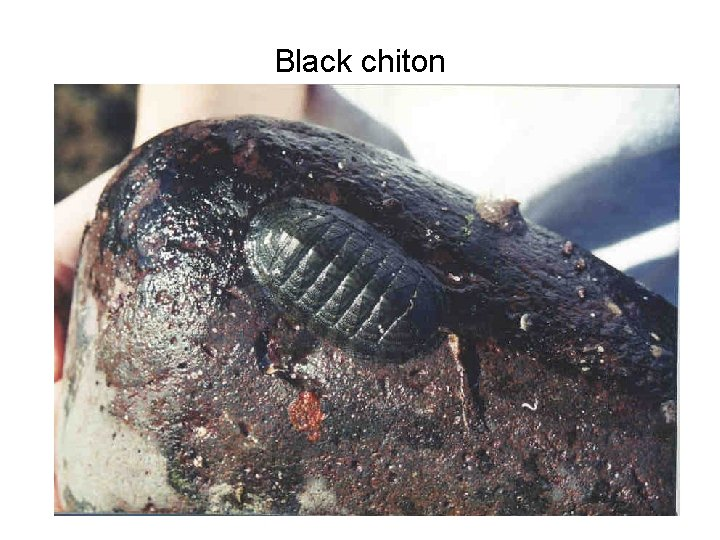 Black chiton