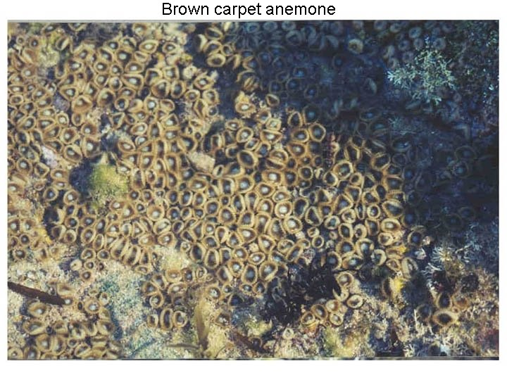 Brown carpet anemone