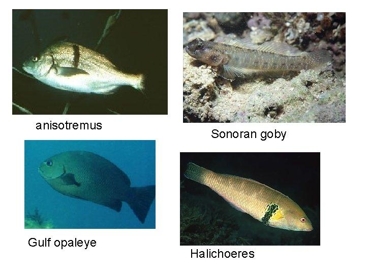 anisotremus Gulf opaleye Sonoran goby Halichoeres