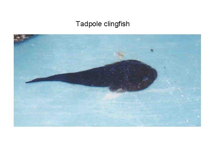 Tadpole clingfish