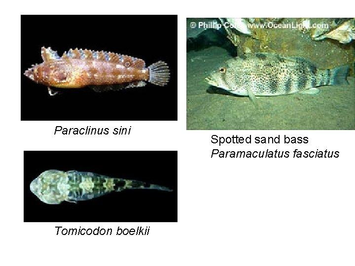 Paraclinus sini Tomicodon boelkii Spotted sand bass Paramaculatus fasciatus