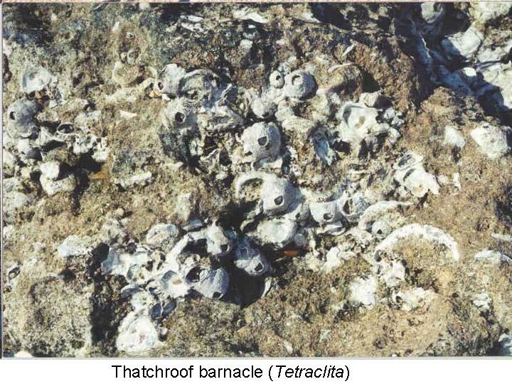 Thatchroof barnacle (Tetraclita)