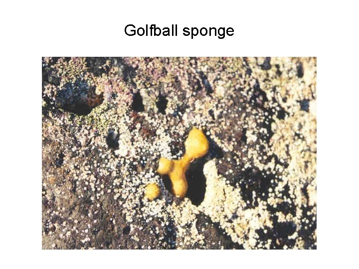 Golfball sponge