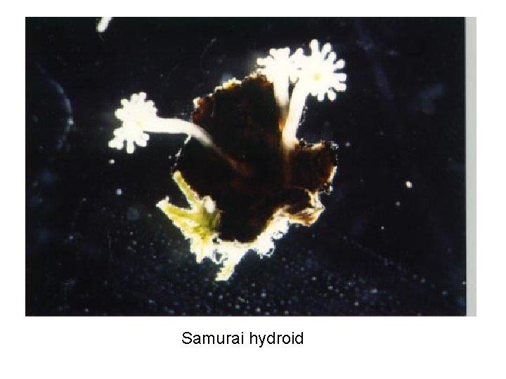 Samurai hydroid