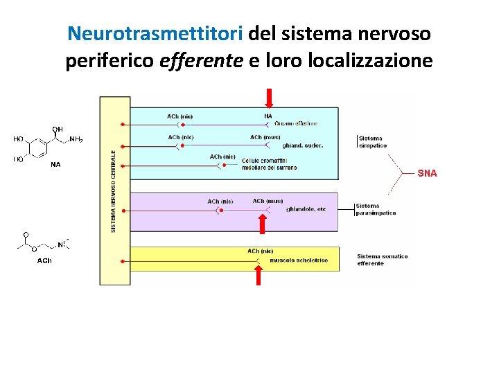 Neurotrasmettitori del sistema nervoso periferico efferente e loro localizzazione