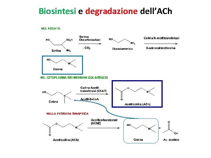 Biosintesi e degradazione dell'ACh