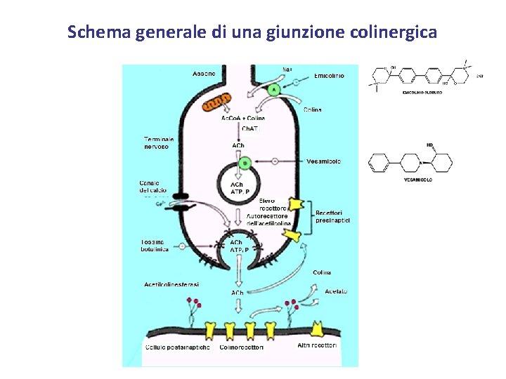 Schema generale di una giunzione colinergica