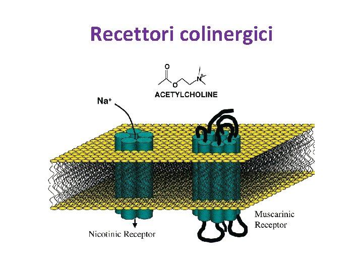 Recettori colinergici