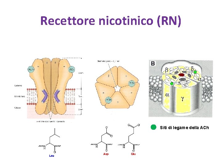 Recettore nicotinico (RN) Siti di legame della ACh