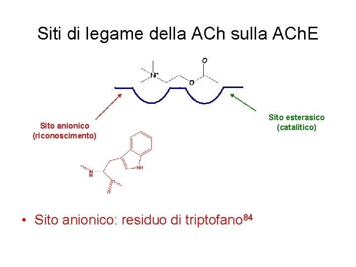 Siti di legame della ACh sulla ACh. E Sito anionico (riconoscimento) • Sito anionico: