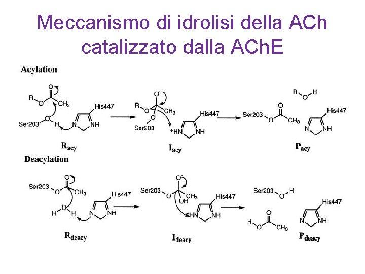 Meccanismo di idrolisi della ACh catalizzato dalla ACh. E