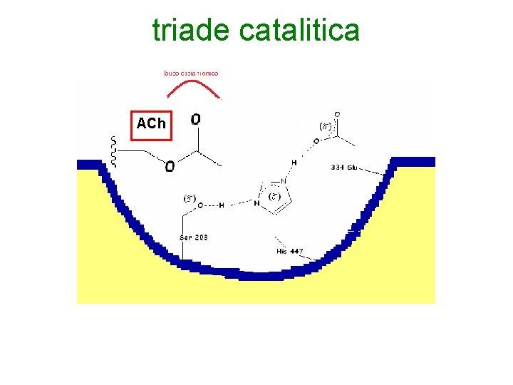 triade catalitica ACh