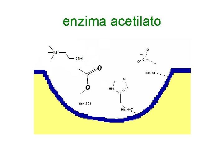 enzima acetilato