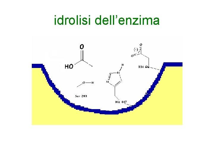 idrolisi dell'enzima