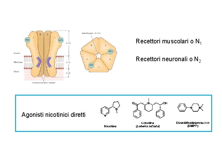 Recettori muscolari o N 1 Recettori neuronali o N 2 Agonisti nicotinici diretti