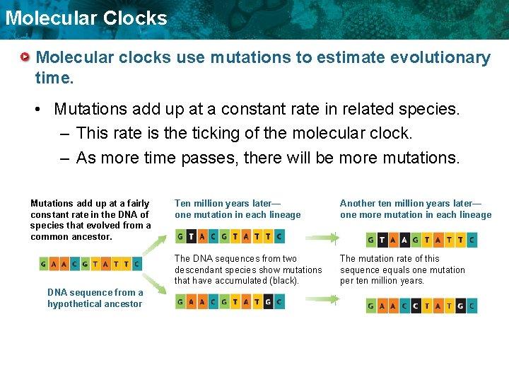 Molecular Clocks Molecular clocks use mutations to estimate evolutionary time. • Mutations add up