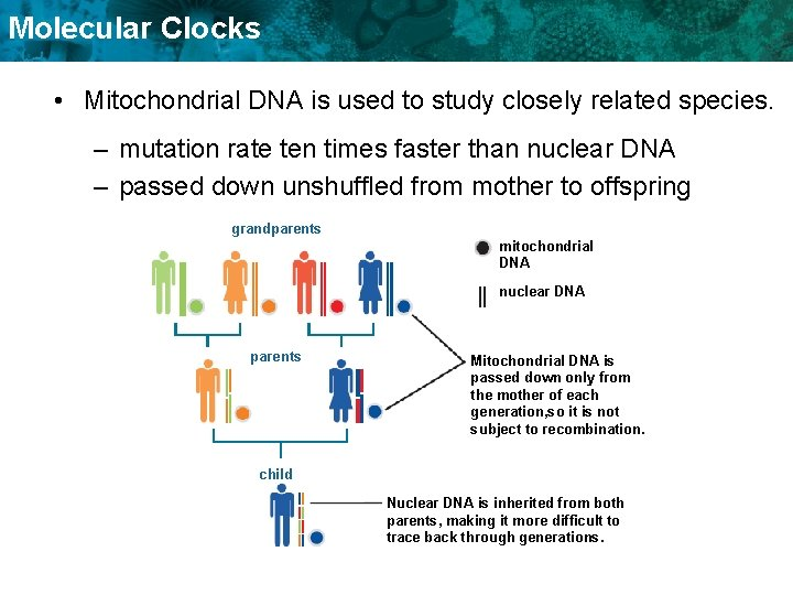Molecular Clocks • Mitochondrial DNA is used to study closely related species. – mutation