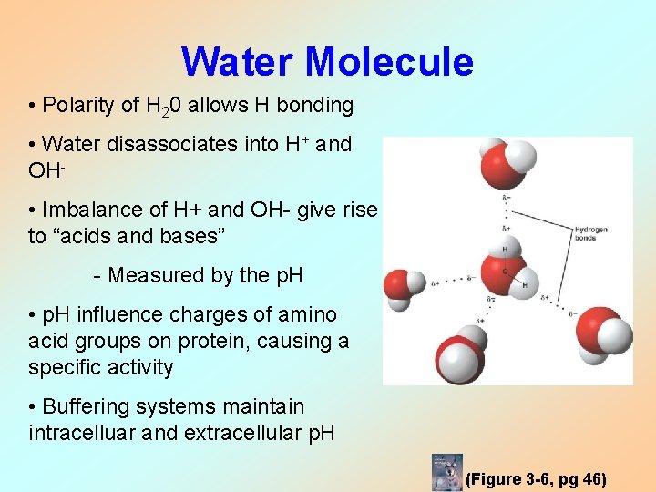 Water Molecule • Polarity of H 20 allows H bonding • Water disassociates into