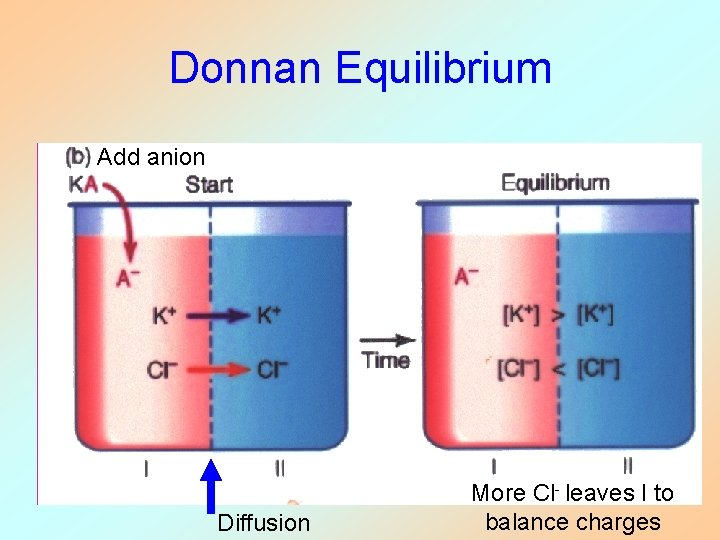 Donnan Equilibrium Add anion Diffusion More Cl- leaves I to balance charges
